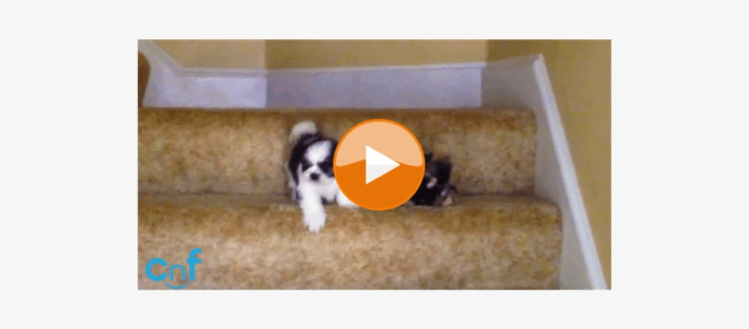 Two Adorable Shih Tzu Puppies Conquer Treacherous Staircase
