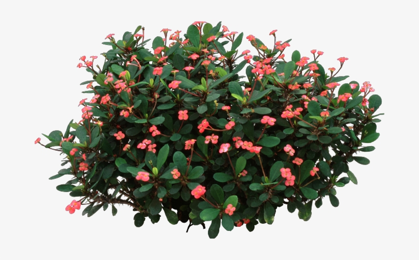 Crown Of Thorns Plant - Crown-of-thorns, transparent png #589854