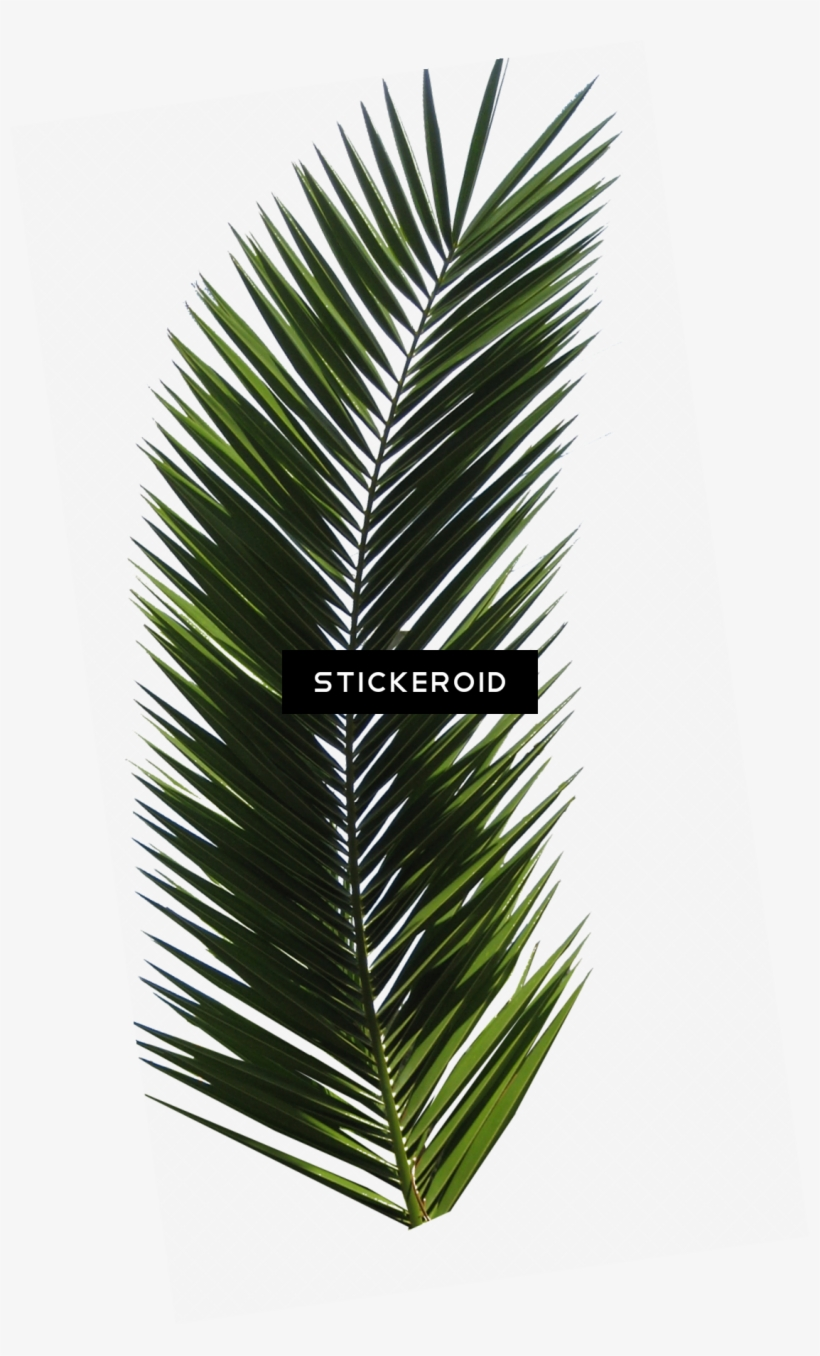 Palm Tree - Palm Tree Leaf, transparent png #5827023