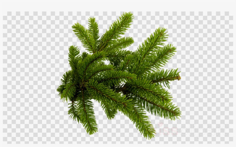 Christmas Tree Branch Png Clipart Christmas Tree Fir - Christmas Tree Branch Png, transparent png #5869362