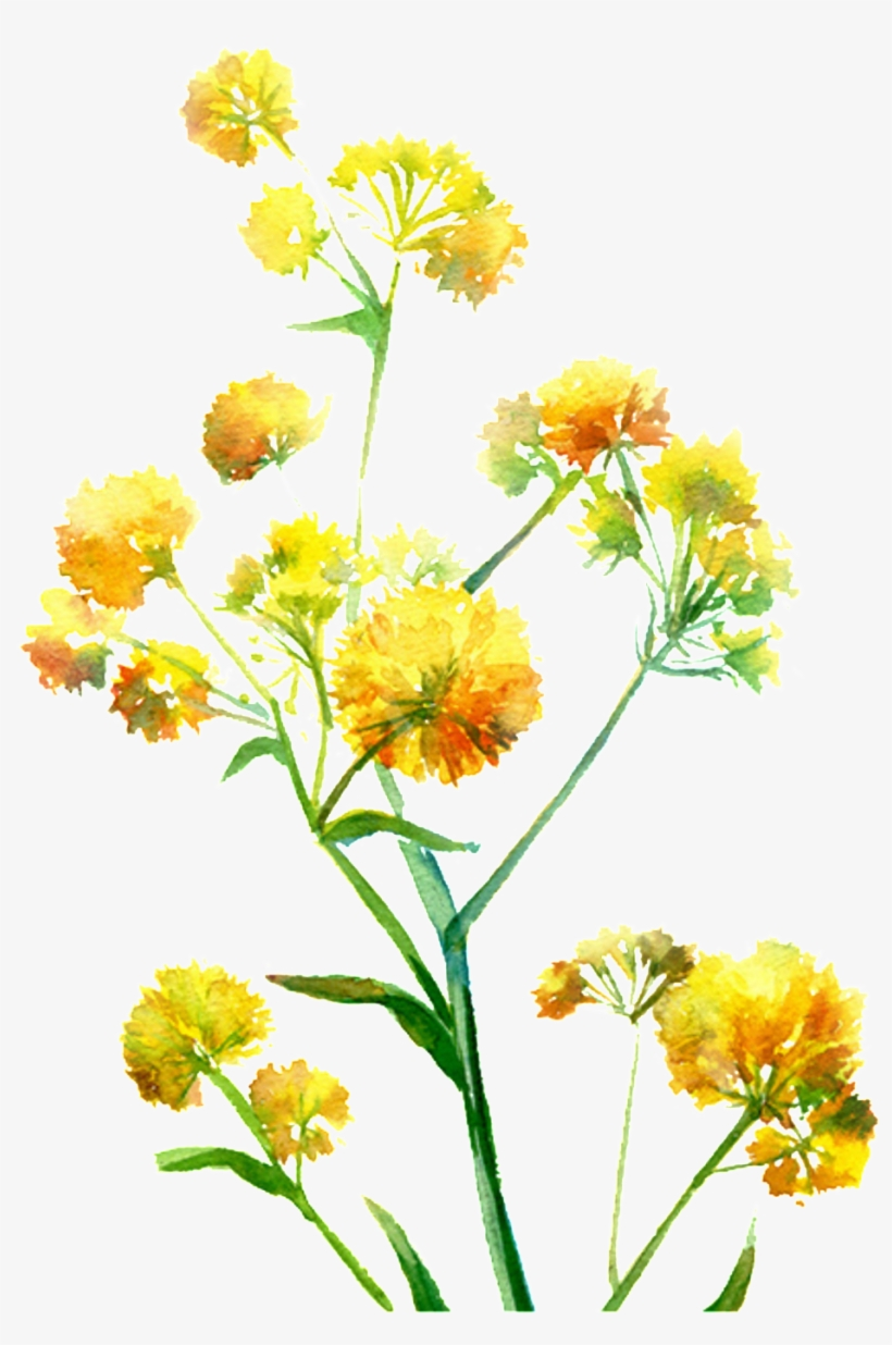 Bright Yellow Hand Drawn Chrysanthemum Decorative Element - Watercolor: Flowers, transparent png #6133541