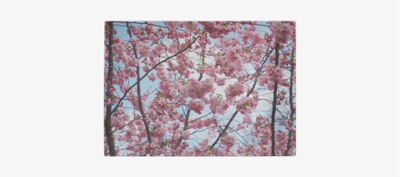 Cherry Blossom Tree Glass Cutting Board - Asian Tree Pink Flowers, transparent png #623295
