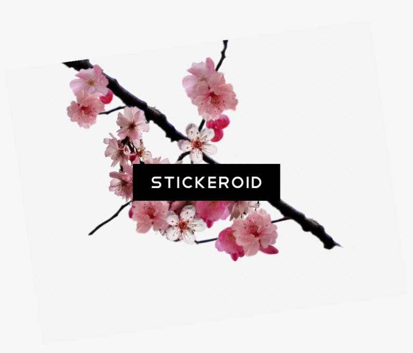 Cherry Blossom Flower - Cherry Blossom, transparent png #6231646