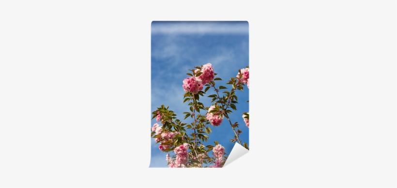 Beautiful Cherry Blossom , Pink Sakura Flower Wall - Cherry Blossom, transparent png #675351