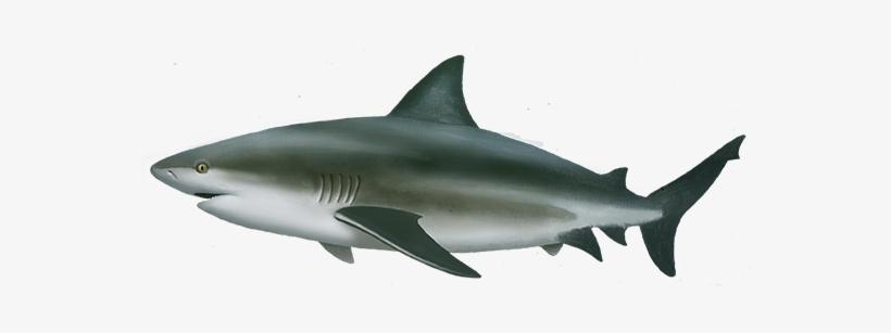 Bull Shark Png Free Transparent Png Download Pngkey Lemon shark hungry shark evolution hungry shark hammerhead shark great white shark shark skwal makala shark soprano ukulele. bull shark png free transparent png