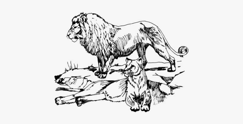 Lion Drawing Line Art Black And White Cougar - Lion Line Drawing, transparent png #684119