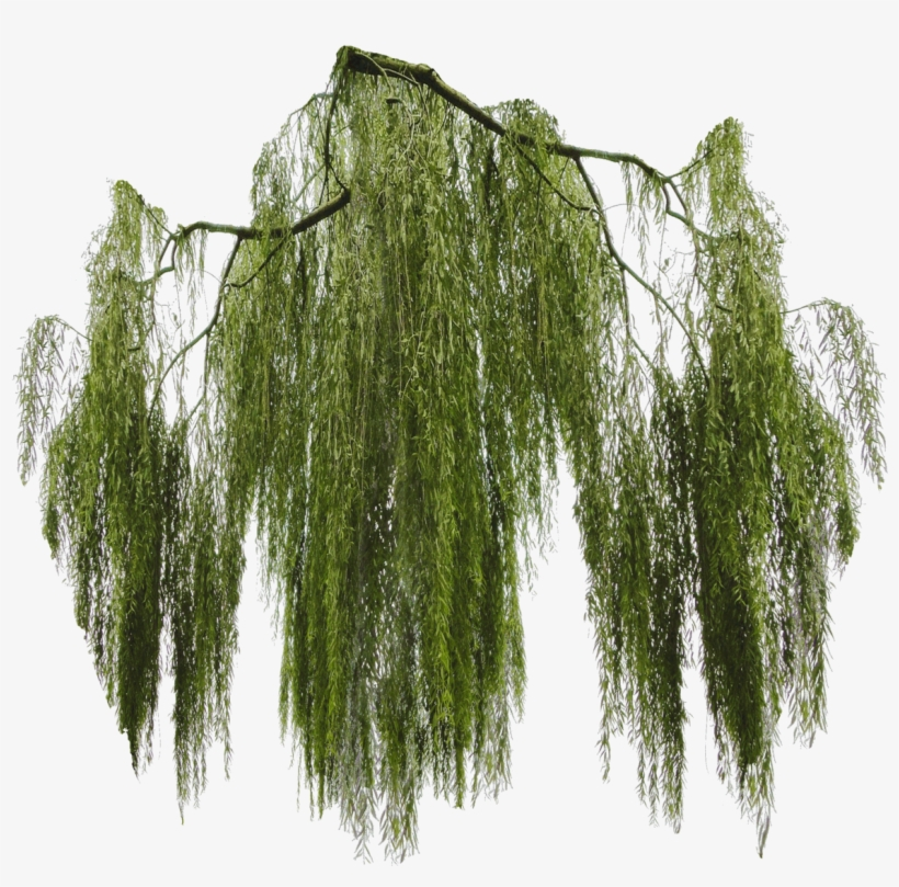 Willow Tree Png - Willow Png, transparent png #688937