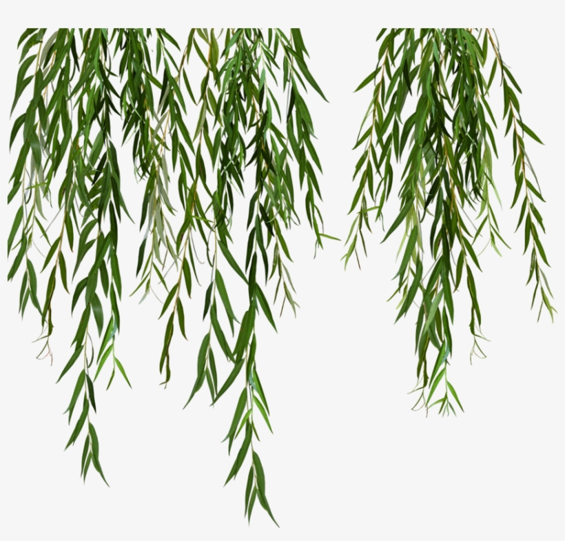 Willow Svg Black And White Stock - Weeping Willow Tree Png Leaves, transparent png #689347