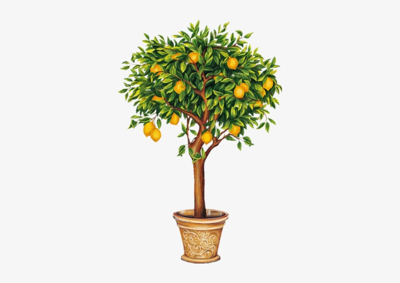 Indoor Citrus And Fruit Trees - Lemon Tree Drawing, transparent png #689837