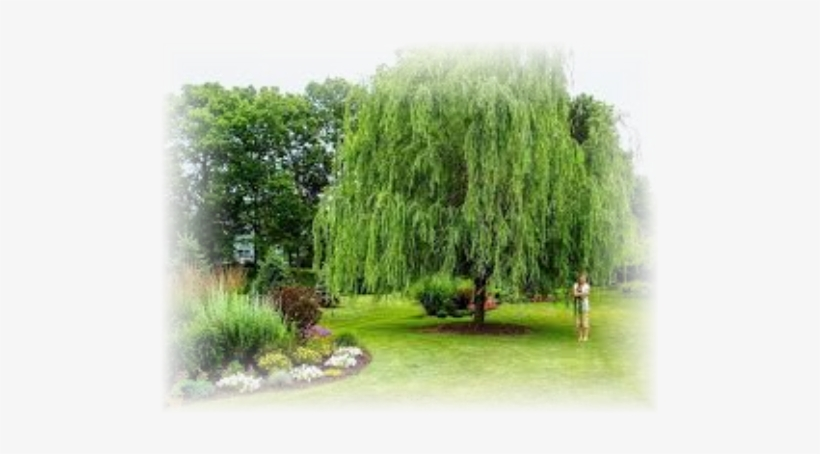 Weeping Willow 'babylonica' - Weeping Willow In The Yard, transparent png #689891