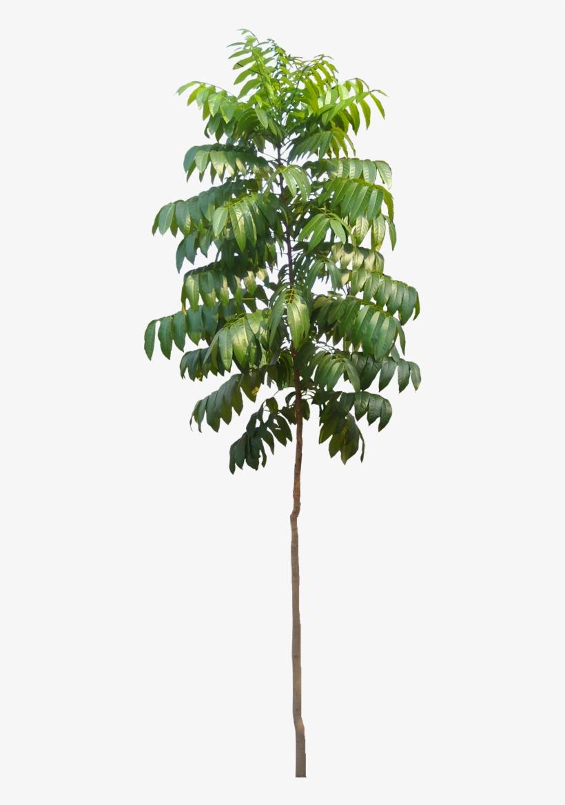 Tree Photoshop, Photoshop Brushes, Tree Plan Png, Autocad, - Papaya Tree Psd, transparent png #690593