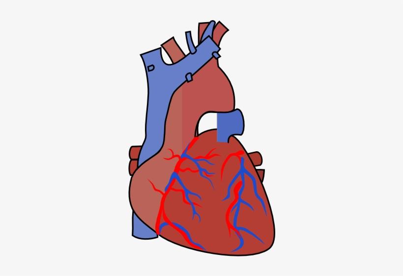 Svg Library Stock Diagram Vein Clip Art At Clker Com - Clip Art Heart Organ, transparent png #696311