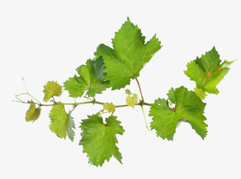 Grape Leaves Png - Grape Vine Leaves Png, transparent png #724919