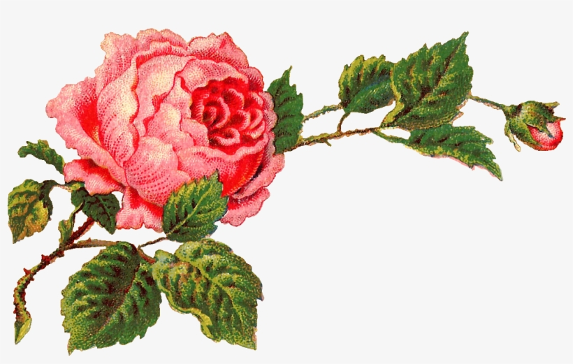 Antique Images Free Digital Flower Label Pink - Vintage Rose Clip Art, transparent png #735760