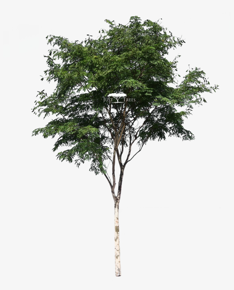Caesalpina Ferrea - South African Tree Png, transparent png #750632