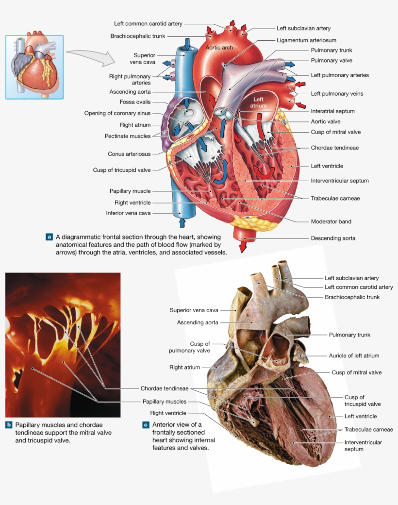 The Heart Is A Four-chambered Organ That Pumps Blood ...