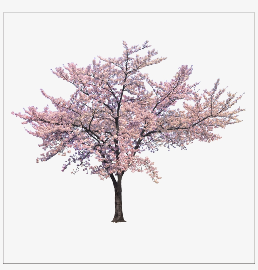 Blossom Cherry Tree Trees Branch Png File Hd Clipart - Cherry Blossom Tree Png, transparent png #7640679