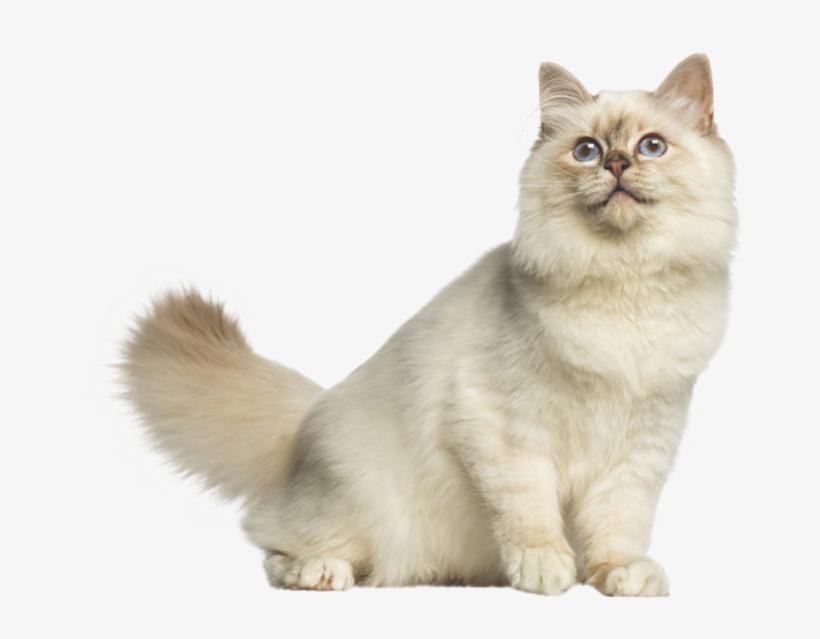 Alimento Para Gatos - Cat Yawns, transparent png #7794278