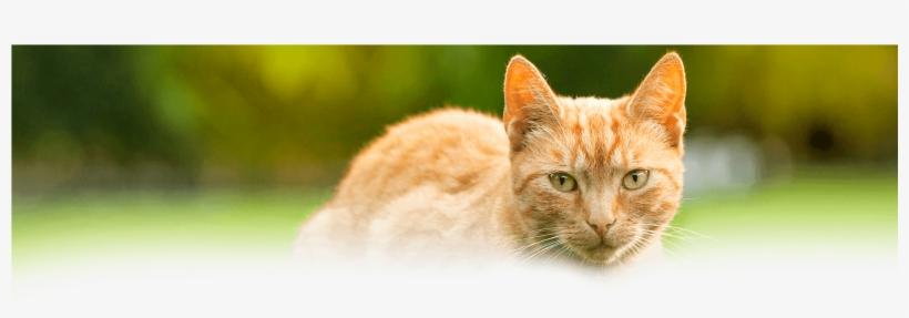 Alimentos Para Gatos - Domestic Short-haired Cat, transparent png #7795434