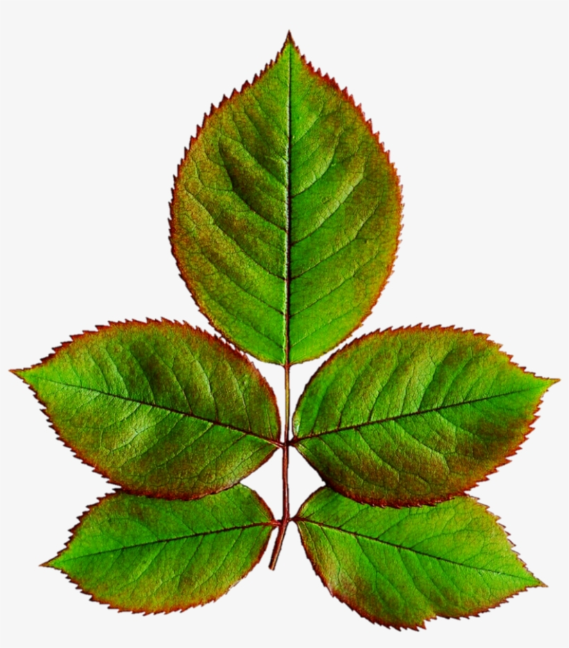 Rose Leaves Png Library - Leaves Of Rose Plant, transparent png #788107