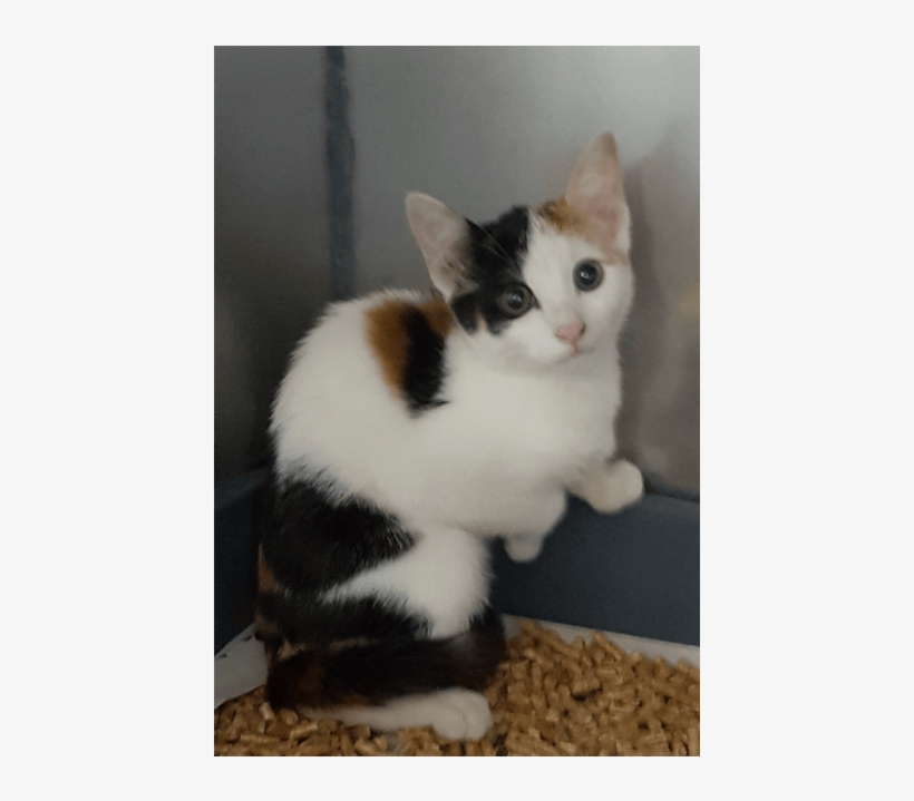 Photo Of Mystique - Domestic Short-haired Cat, transparent png #791487