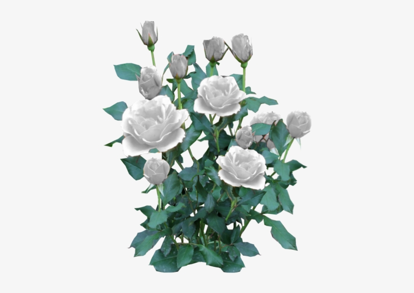 Rose Bush White White Rose Bush Png Free Transparent Png