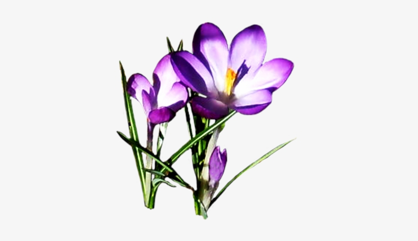 Clipart Spring Flowers, transparent png #797255