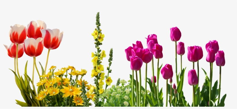 Tulips Spring Flowers Flower Bed Plant Nature - Transparent Spring Flowers, transparent png #7945800
