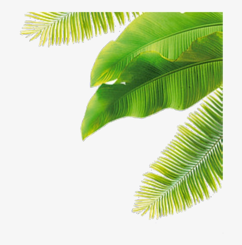 Overlay Plant And Plants Image Coconut Leaves Png Free Transparent Png Download Pngkey 11 png, rain, overlay, images with transparent background. plants image coconut leaves png