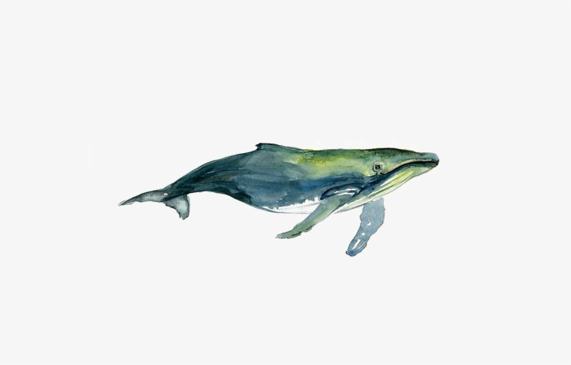Clipart Library Stock Tucuxi Humpback Whale Painting - Watercolor Humpback Whale Drawing, transparent png #81417