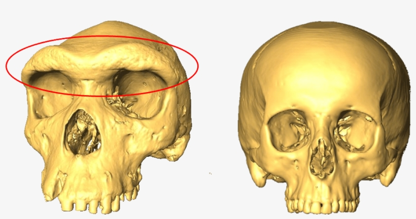Two Skulls, One With A Larger Eyebrow Ridge - Skull And Eyebrow, transparent png #82524