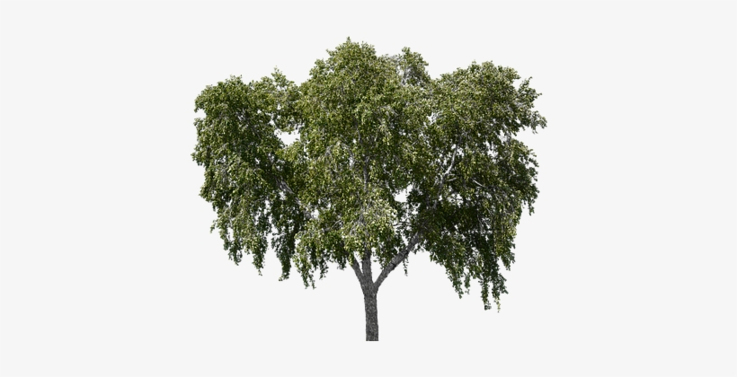 Tree, Tree With Leaves, Forest, Nature - Tree, transparent png #82698