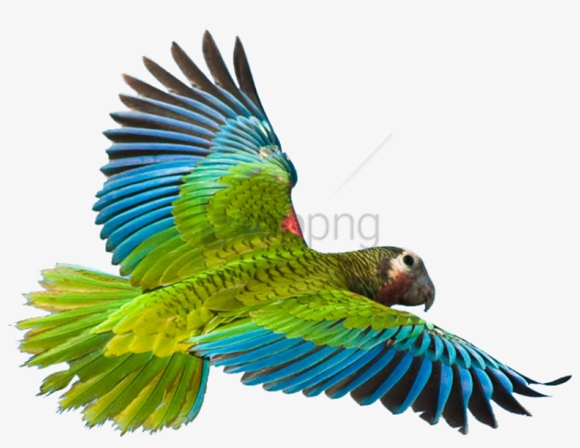 Flying Parrot Png Image - Flying Parrot Png - Free