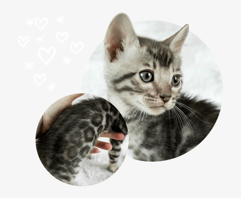 Cats Kittens For Sale Wild Sweet Bengals - Kitten, transparent png #8049646