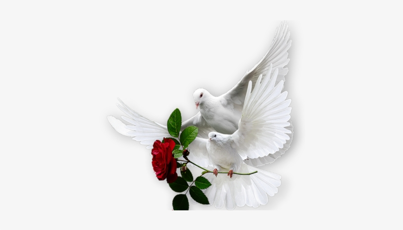 Les Colombes Dove Images Dove Pictures Dove Bird Colombe Avec Une Rose Free Transparent Png Download Pngkey