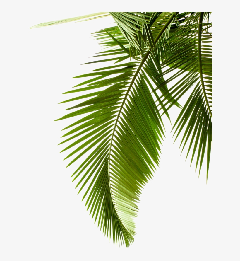 Leaf Pattern Tree Arecaceae Paper Palm Branch Clipart - Palm Leaf Black And White, transparent png #8112236