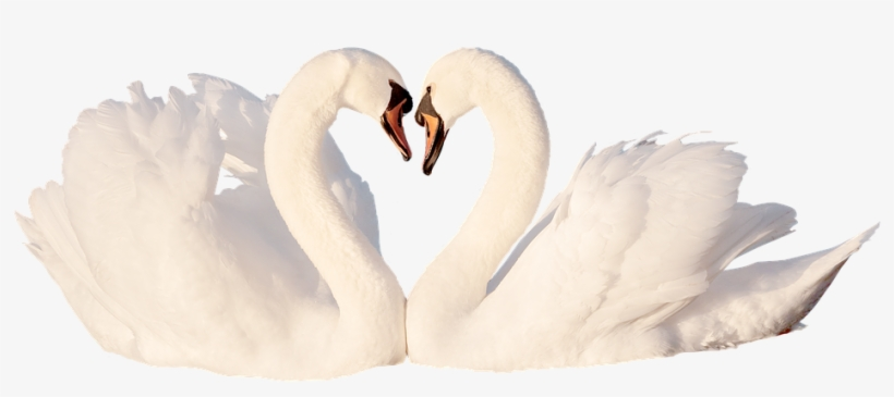Swan, Love, Bird, White, Feather, Romantic, Swans, - Tundra Swan, transparent png #8179492