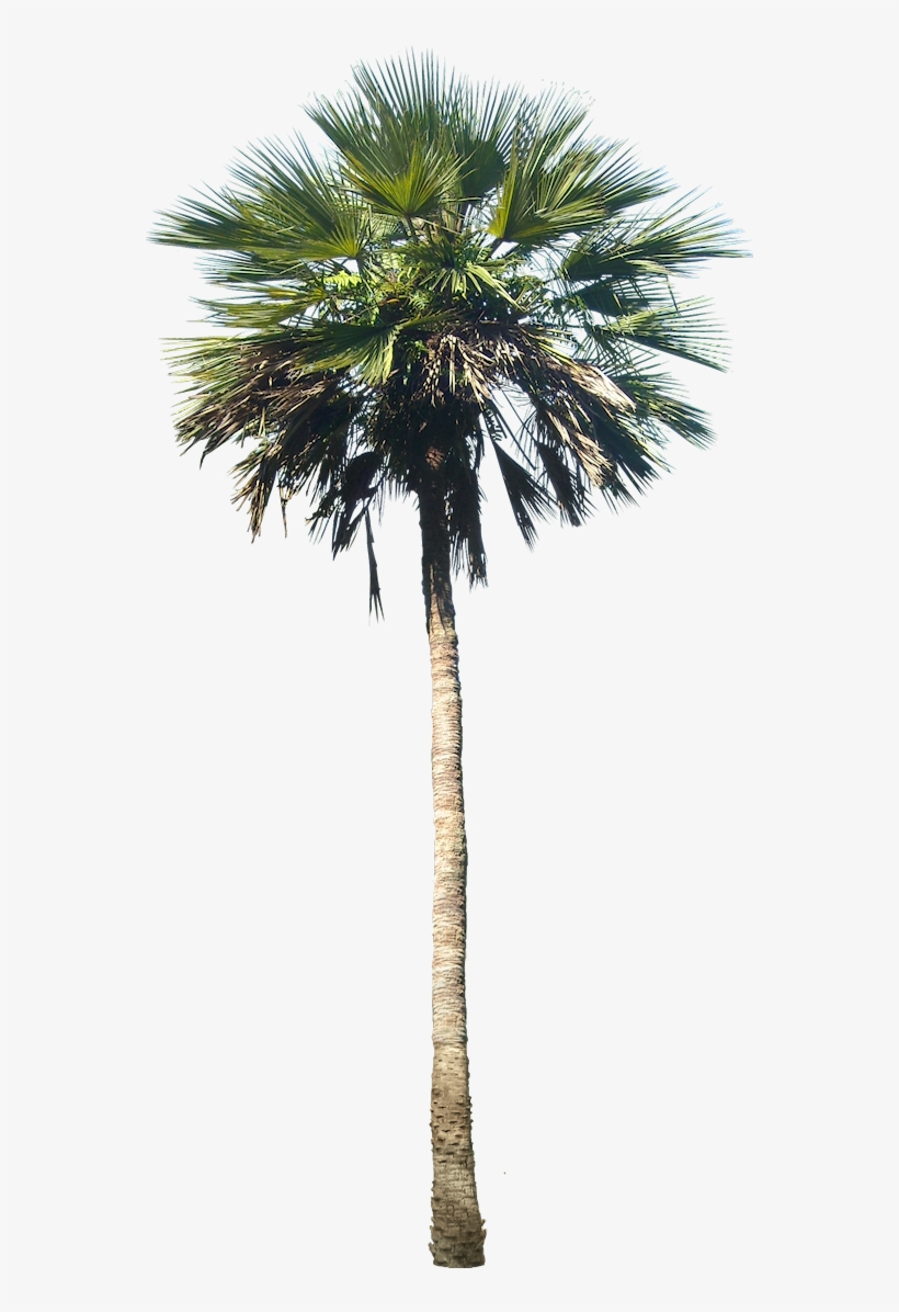 Washingtonia Palm Tree - Phoenix Palm Tree, transparent png #820007