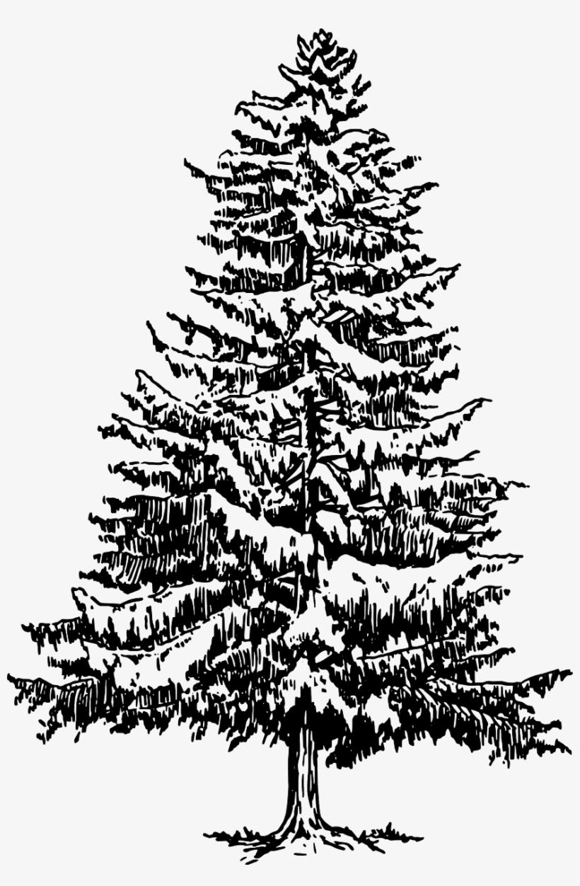 How To Draw A Christmas Tree - Pine Tree Black And White, transparent png #824093