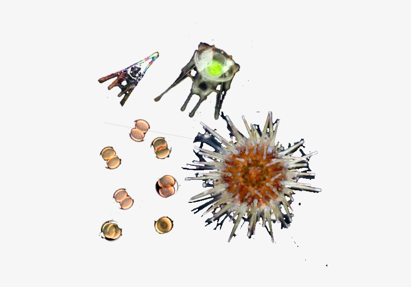 Sea Urchin - Metamorfosis Erizo De Mar, transparent png #825478