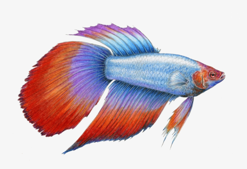 Betta Fish - Alot Of Betta Fish Png, transparent png #8373983