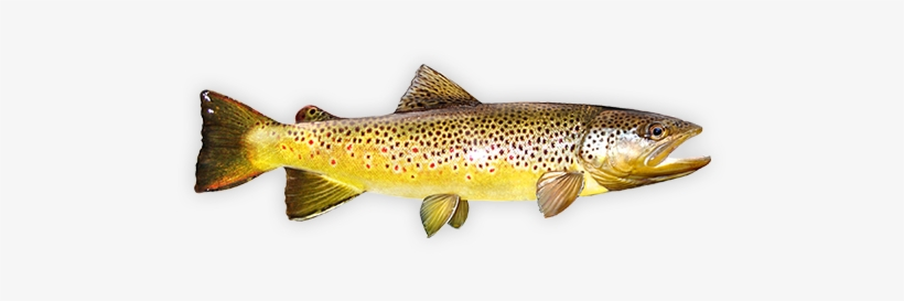 Brown Trout - Fly Fishing, transparent png #842130
