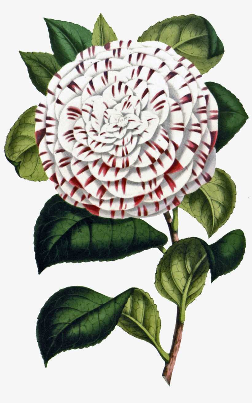 This Product Design Is Hand Painted White Big Flower - Flower, transparent png #846678