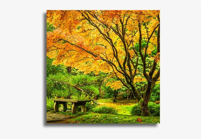 Japanese Maple Tree With Fall Foliage - Washington Park Arboretum Uw Botanic Gardens, transparent png #8590553