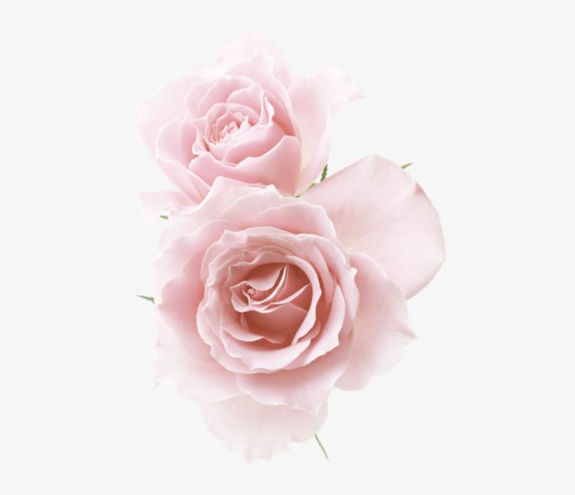 Rose☆ Red Flowers, Pink Roses, Flower Png Images, Pastel - Rose Light Pink Background, transparent png #8616473