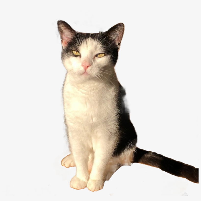 Cat Sticker - Domestic Short-haired Cat, transparent png #8626234