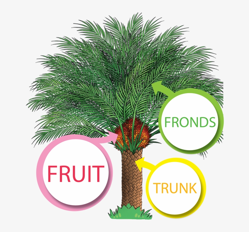 The Productive Oil Palm - Palm Oil Tree Png, transparent png #8784665