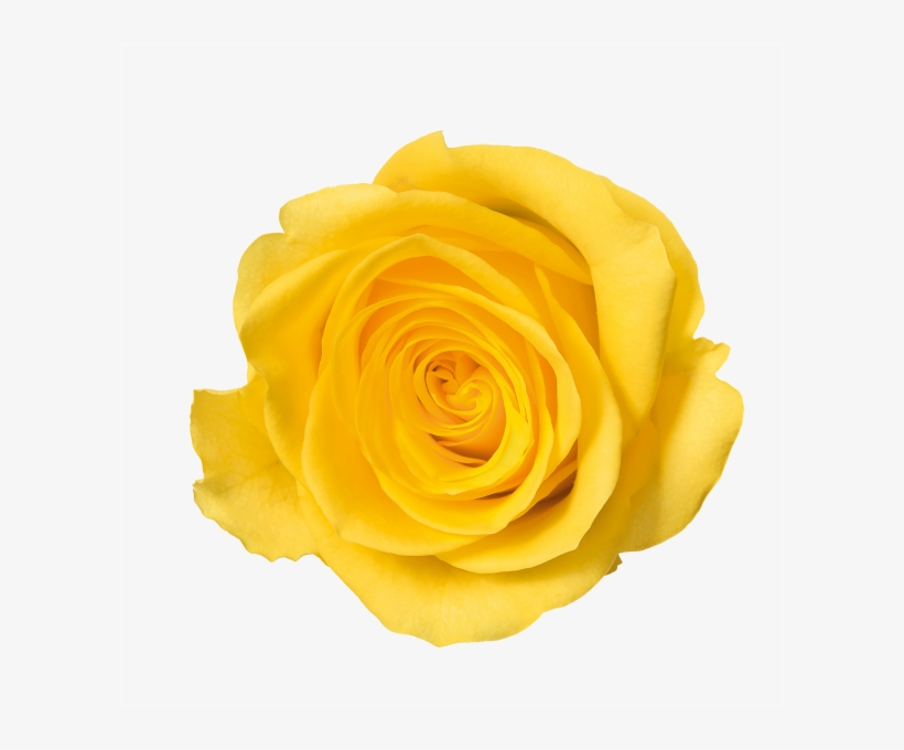 Yellow Rose Png Flower With No Background Free Transparent Png