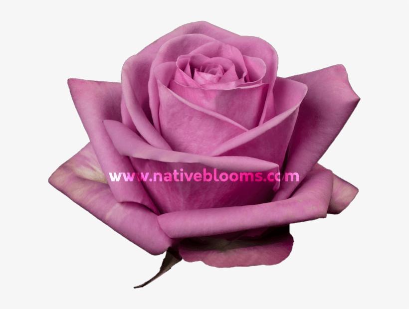 Lavender Roses - Garden Roses, transparent png #8895951