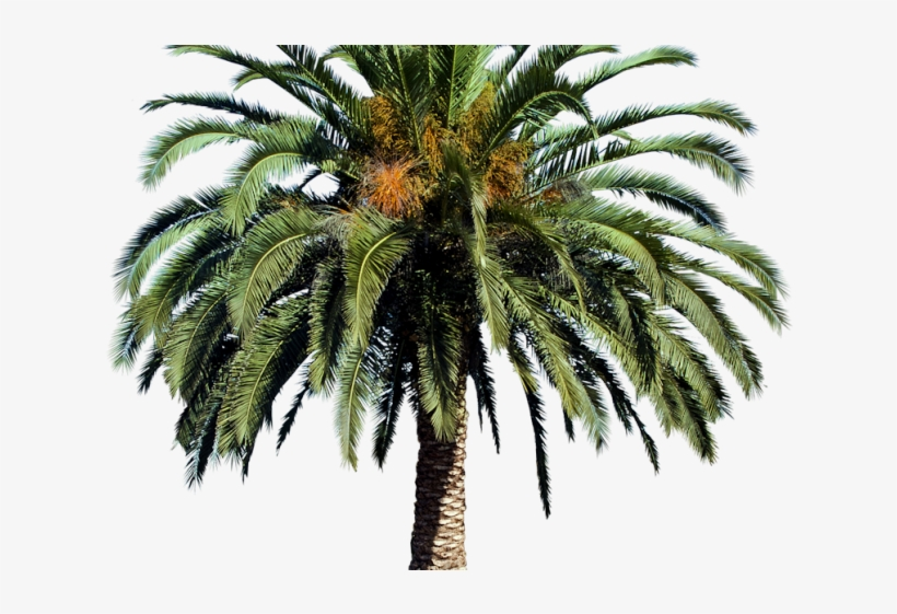 Date Palm Clipart Tropical Tree - Date Palm Tree Png, transparent png #890344